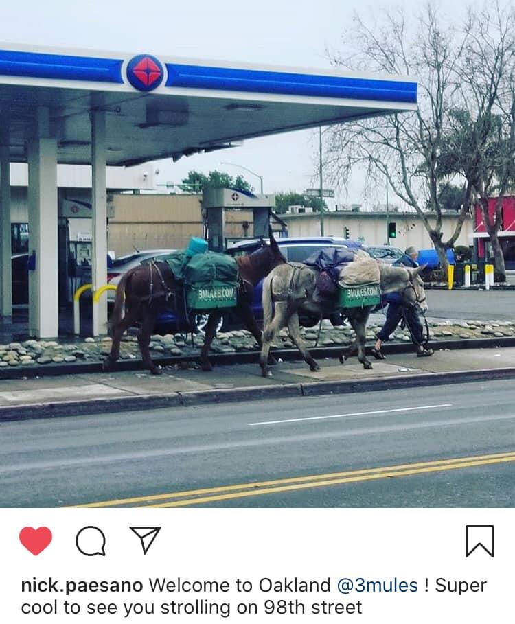 3 Mules walking thru Oakland